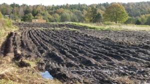 På den nybrutna marken sår vi in en gröngödsling till våren och odlar kanske lite potatis och grönsaker.
